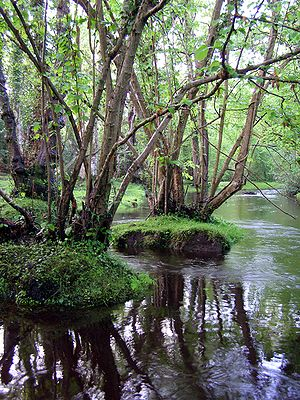 Alder trees in the Beaulieu River north of Faw...