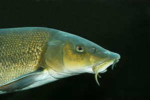 Common Barbel.