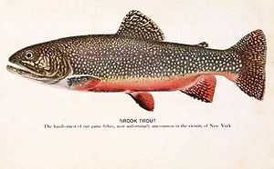 Image of a brook trout (Salvelinus fontinalis)
