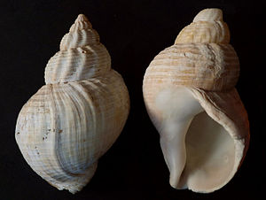 Two beachworn shells of Buccinum undatum from ...