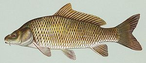 The carp, introduced in 1850, is now a trouble...