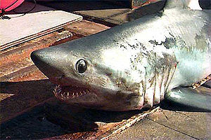 The head of a porbeagle shark (Lamna nasus)