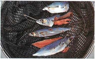 Mackerel baits for conger fishing