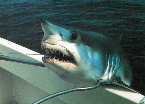 catching Mako sharks in Britain