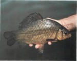 Crucian carp -a true survivor