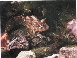 Rock-dwelling blennies