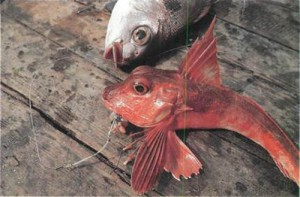 The grunting gurnard