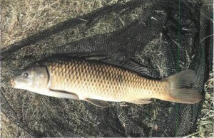 Wild carp – long, lean and lively
