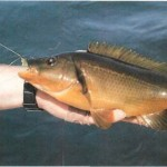 Wrasse fishing on Alderney 004