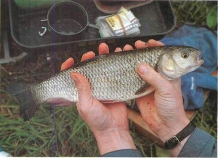 Chub are common in many of our canals