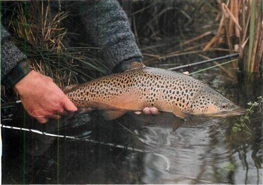 brown trout caught on deer hair fly