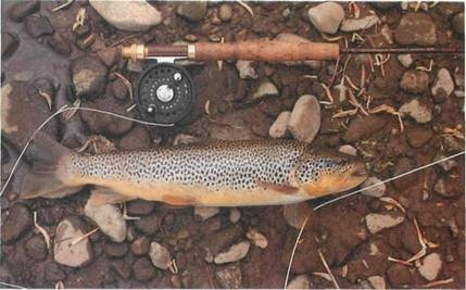 45cm (18in) wild river brown trout
