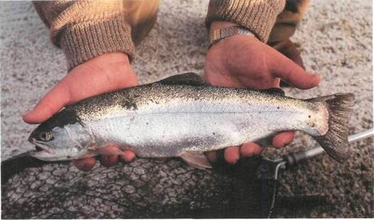 rainbow trout from Farmoor II