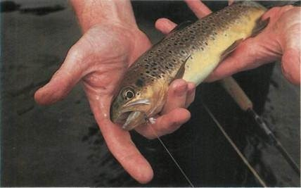 1lb (0.45kg) brown trout caught on the River Wharfe