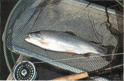 trout caught at Pitsford Water