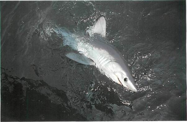 porbeagle lies beaten on the surface
